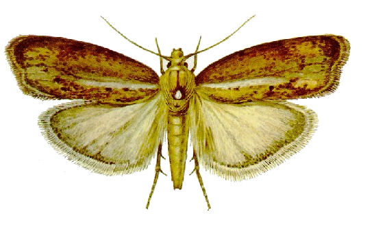 wax moth alone